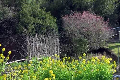 200305菜の花2