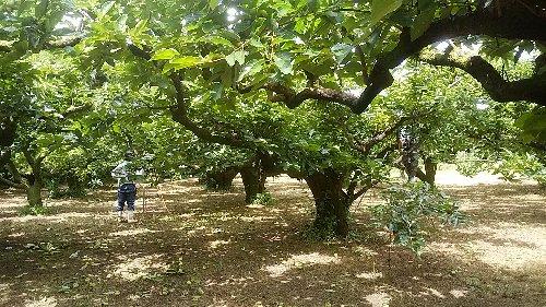 摘果柿園全景