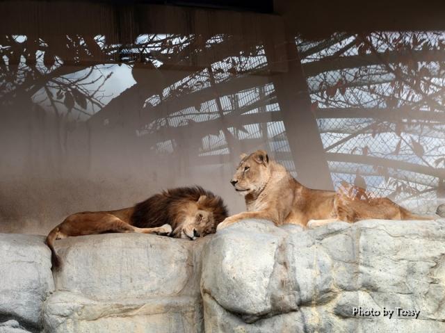 ライオン 王子動物園