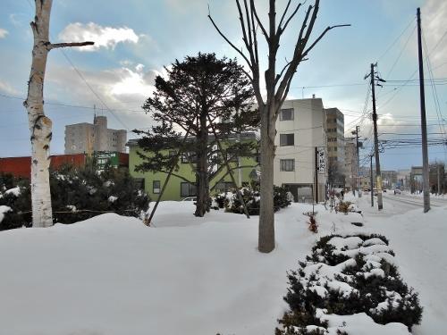 旧苗穂駅前 小緑地 オンコの木