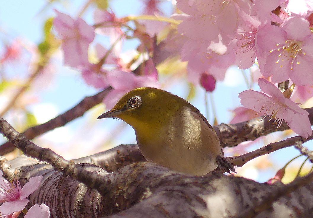 sakuramejiro18_202003101639548fb.jpg