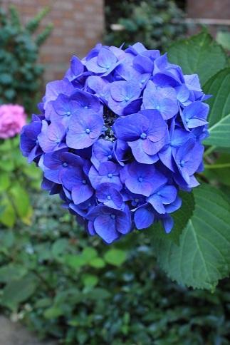 今年の紫陽花は