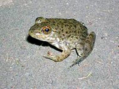 200px-Juvenile_bullfrog.jpg