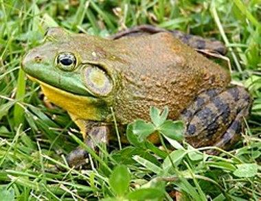250px-North-American-bullfrog1.jpg