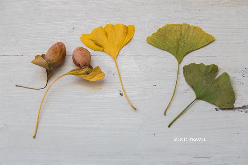 お葉つきイチョウ