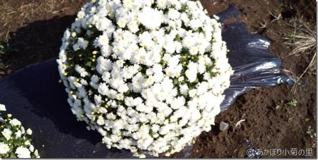 小菊の里、開花状況 (R01/10/30)