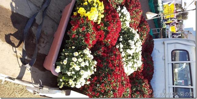 小菊の里、開花状況 (R01/11/01)