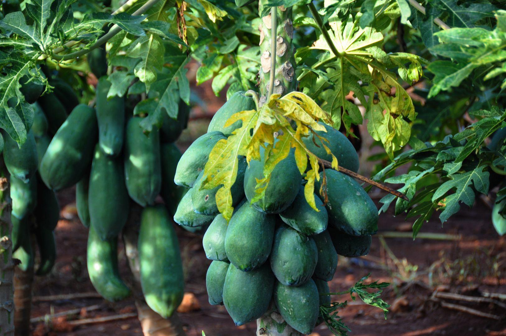 fruta bomba (papaya)