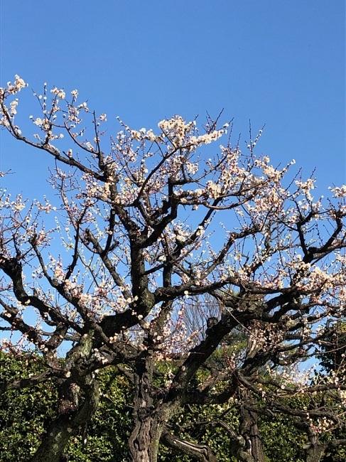 梅の花 2020