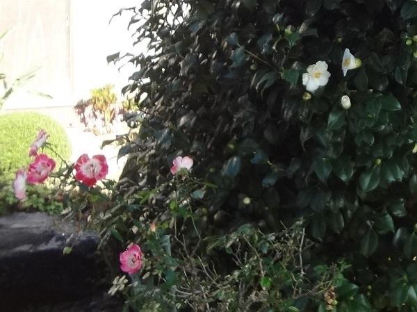 20191223薔薇と椿3