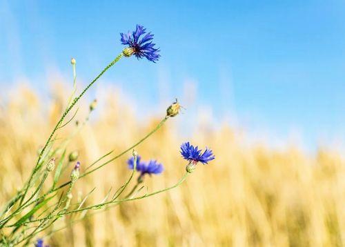 cornflower-5404185_960_720.jpg