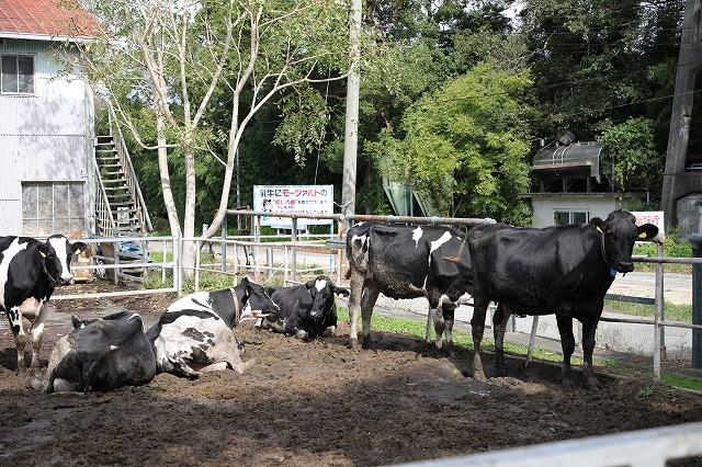 淡路島牧場牛