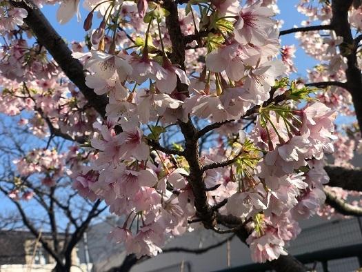 玉縄桜02