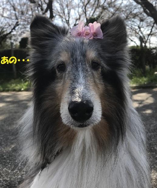 玉縄桜99