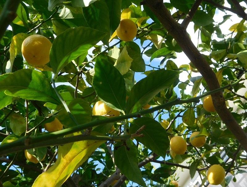 レモン出荷0201 (1)