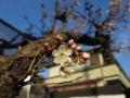 早咲きのお隣の桜