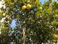 大きな柚子の樹