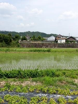 西加茂田んぼ2006