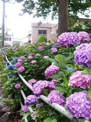 藤森神社のアジサイ2006