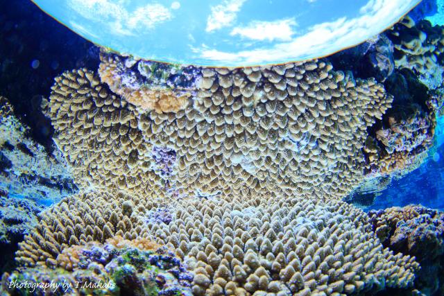 06-3★慶良間諸島奧武島のサンゴ