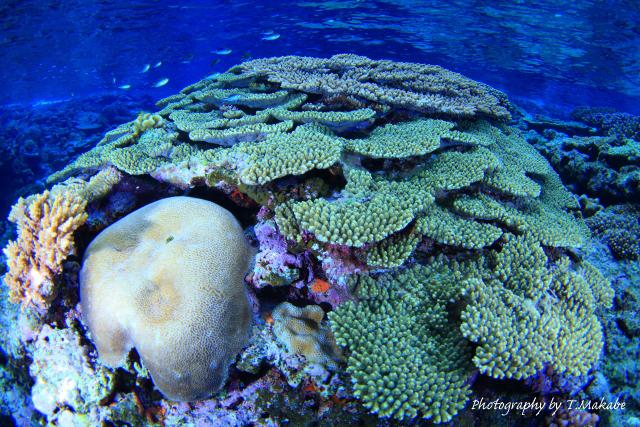 07-1★慶良間諸島奧武島のサンゴ