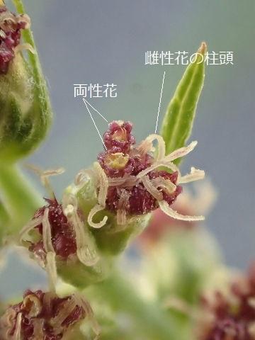ニシヨモギ20191111-2