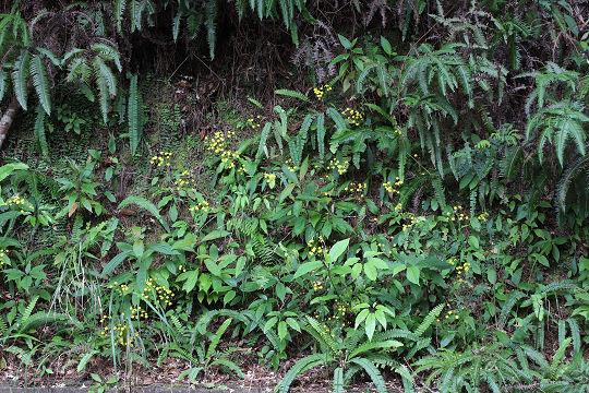 ヤナギニガナ20200220-5