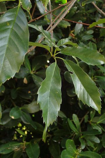 アマミアラカシ20200303-1