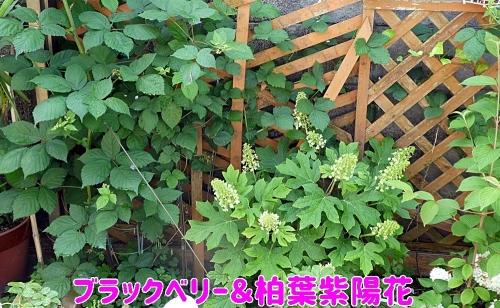 ブラックベリーと柏葉紫陽花
