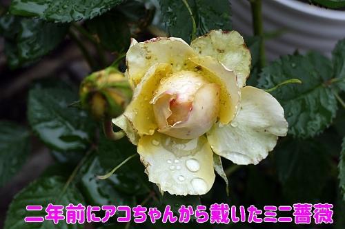 思い出のミニ薔薇