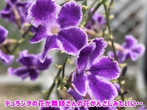 デュランタの花が