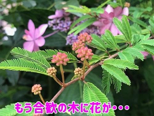 ネムノキに花が