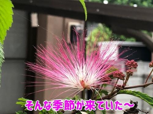 ねむの木に花が