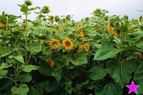 大きな向日葵写真