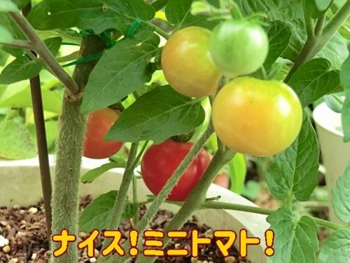 ナイスミニトマト