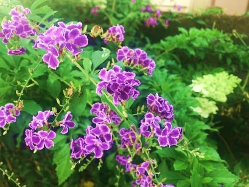 デュランタとピラミッド紫陽花