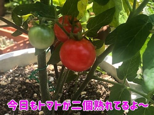 トマトが二個