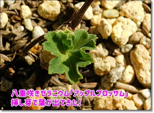 八重咲きゼラニウム「アップルブロッサム」