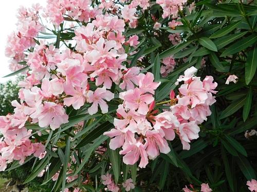 夾竹桃ピンク