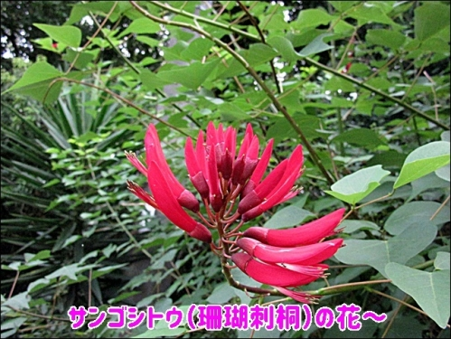 サンゴシトウ(珊瑚刺桐)