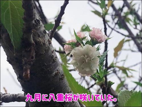 九月に八重桜が