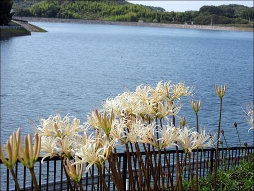 彼岸花と宝山湖1