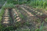 BL200528サツマイモ植え1IMG_5094
