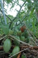 BL200607ジャガイモ&トマト2IMG_5301