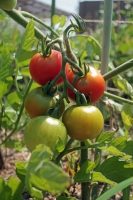 BL200616収穫2IMG_5551