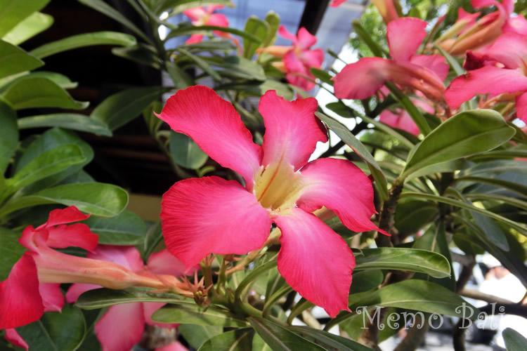 バリ島 南国の花「Jepun Jepang(ジュプンジュパン)」