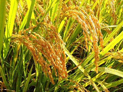 04cb 400 ear of rice