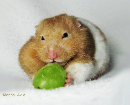 09a 500 Hamster Mike Eating grapes