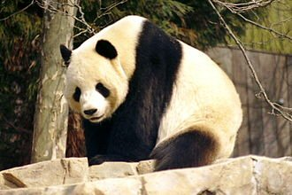 03c 300 Giant panda