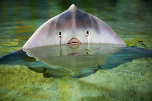 03a 500 fish ray エイ